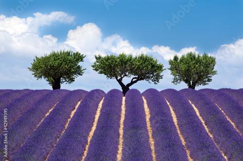 Tuinposter Lavendel Plateau de Valensole : Lavande #2