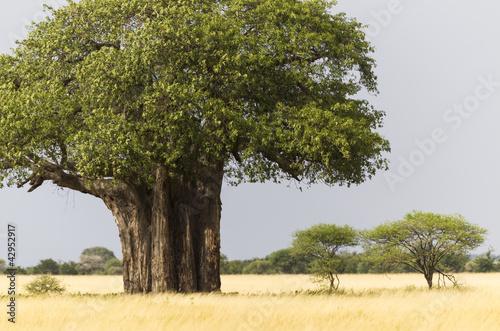 Keuken foto achterwand Baobab African Baobab