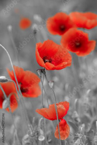 czerwone maki na czarno-białym polu