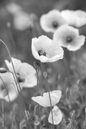 White poppies on b/w field - 42953373