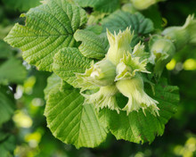 Fresh Green Hazelnuts