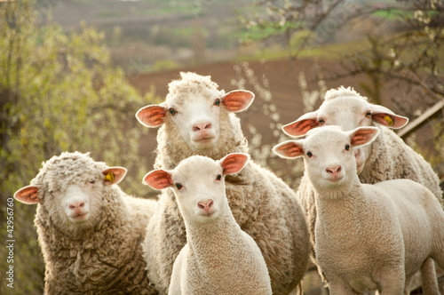 Foto op Canvas Schapen Sheep on pasture