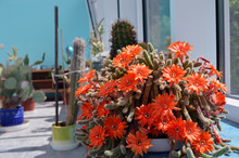 Torch Cactus Blooms Flowers. Echinopsis Huascha.