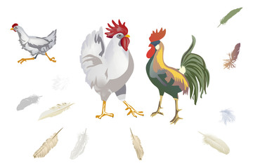 set of chickens and feathers isolated on white