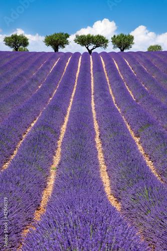 Foto auf AluDibond Lavendel Champ de Lavande