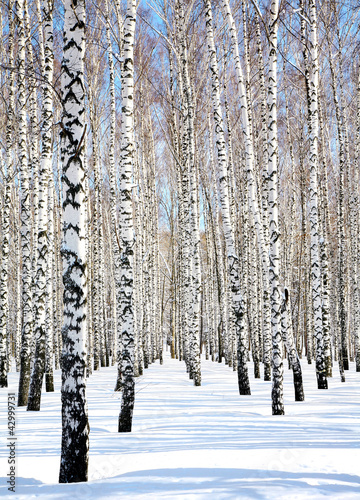 Stickers pour porte Bosquet de bouleaux Blue sky in april birch grove