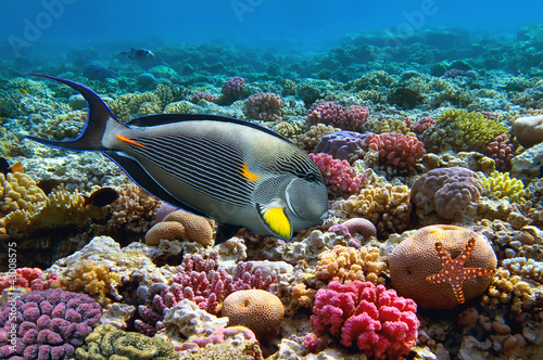 Poster Sous-marin Tropical fish Acanthurus sohal and Coral reef