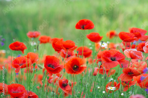 Montage in der Fensternische Mohn red poppy