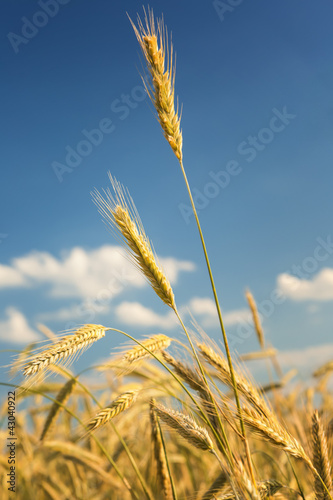 Fotografie, Obraz  Roggen vor blauem Himmel