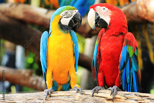 Photo sur Toile Perroquets Parrot macaw couple