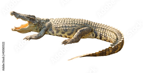 In de dag Krokodil Dangerous crocodile open mouth isolated with clipping path