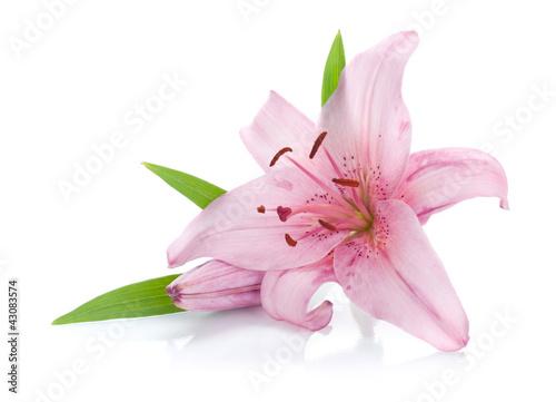 rozowa-lilia