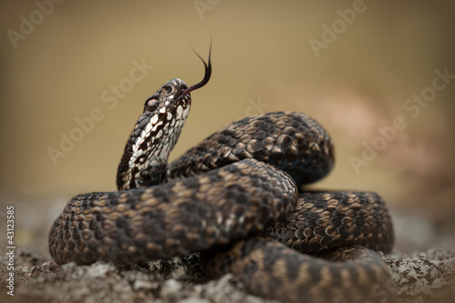 European Adder Canvas Print