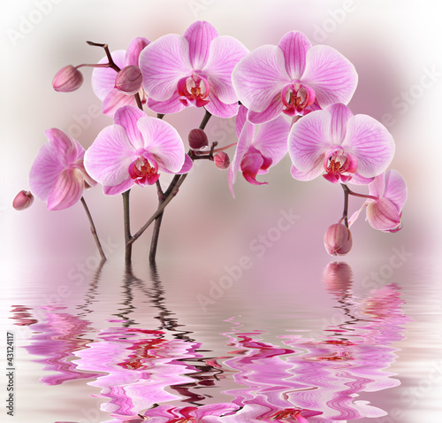 Pink orchids with water reflexion - 43124117