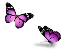 Two Violet Butterflies On White