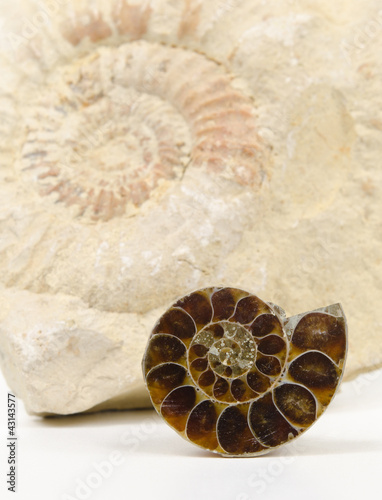 Foto op Canvas Spiraal small ammonite cut / polished, big ammonite fossil background