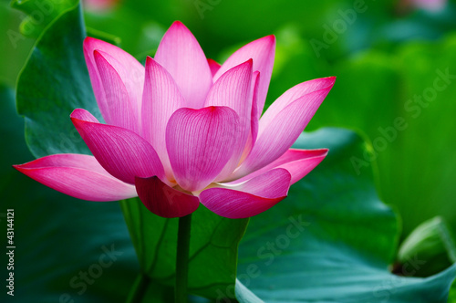 Foto op Aluminium Lotusbloem Lotus flower blooming in pond