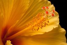 Yellow Hibiscus Closeup On Bla...