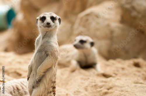 Fényképezés  Meerkat position standing watchful guard