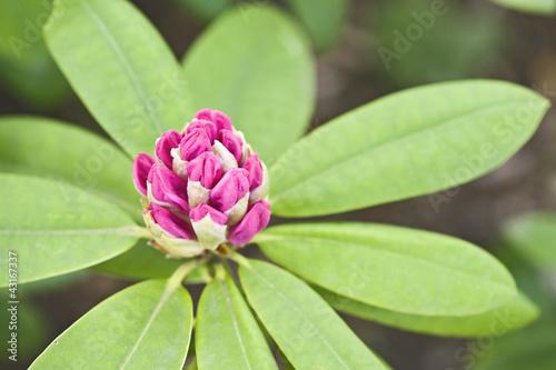 Papiers peints Azalea Wild flower in a garden
