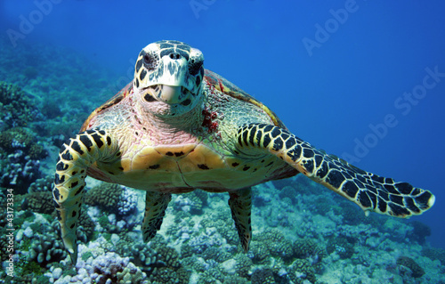 Photo sur Toile Tortue Tutle