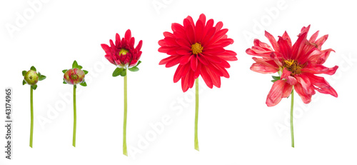 In de dag Dahlia dahlia from bud to dying flower isolated on white