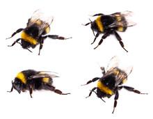 Bumblebee Macro View Isolated