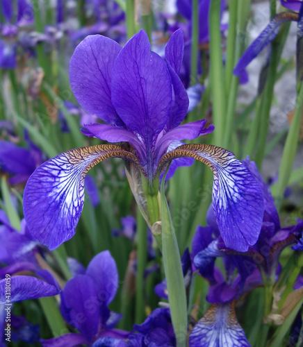 Foto op Canvas Iris Iris.