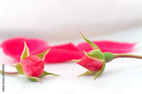 Fototapeta Buds of roses obraz