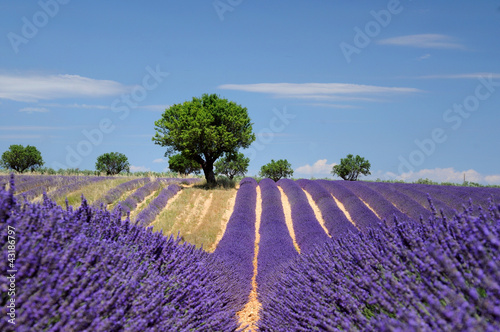 Fototapety, obrazy: LLavender field. The plateau of Valensole in Provence