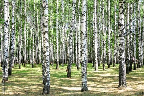 Deurstickers Berkbosje Birches