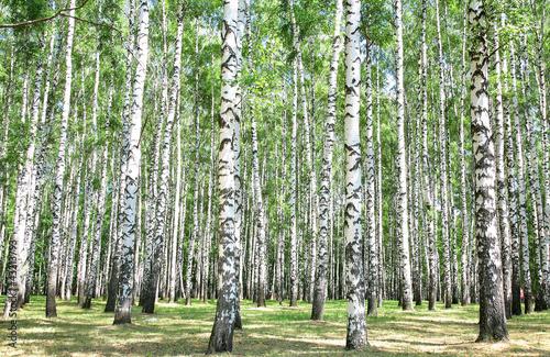 Foto op Plexiglas Berkbosje Birch grove in july