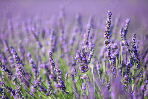 Door stickers Lavender lavande