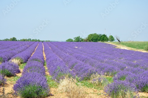 Fotobehang Lavendel culture de la lavande