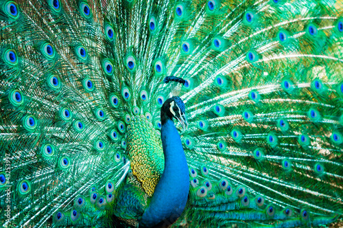Photo sur Aluminium Paon Portrait of peacock with feathers out