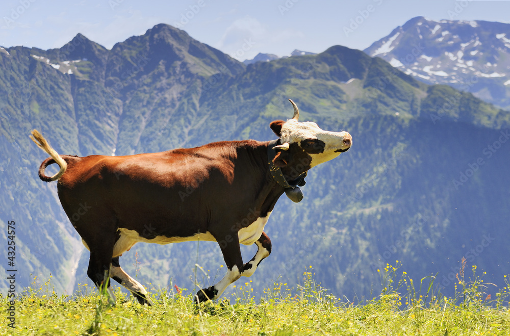 Fototapeta crazy cow is jumping in the mountain