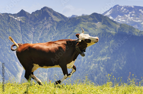 crazy cow is jumping in the mountain