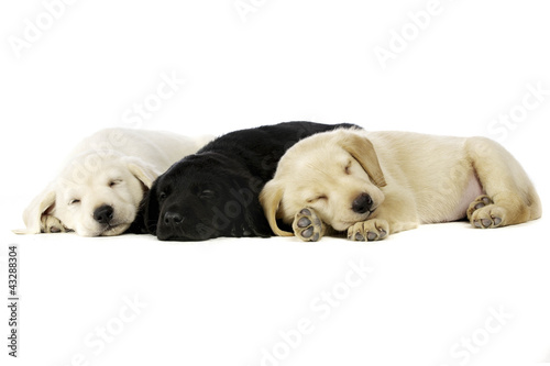 Golden and black Labrador Puppies - Buy this stock photo and explore