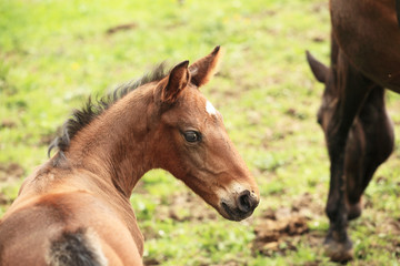 young foal has his first steps in the meadow