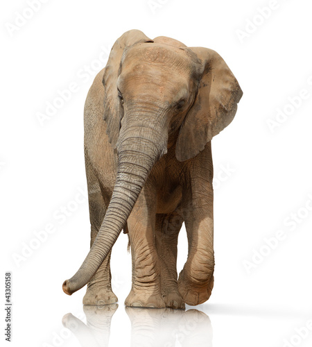 Portrait Of An Elephant Bull