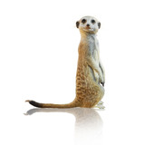 Portrait Of A Meerkat
