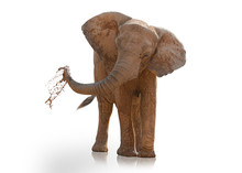 Portrait Of An Elephant Playing