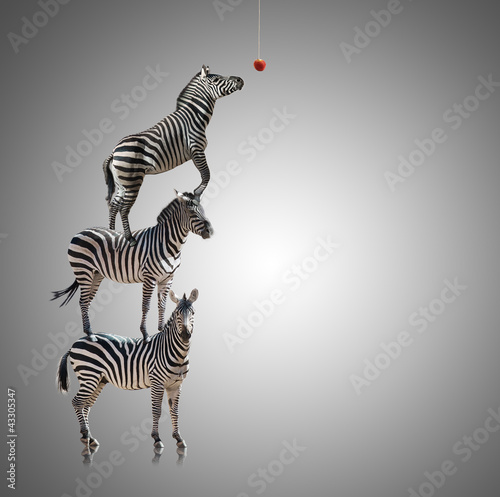 Poster Zebra Stack Of Zebra Reaching To Eat Apple