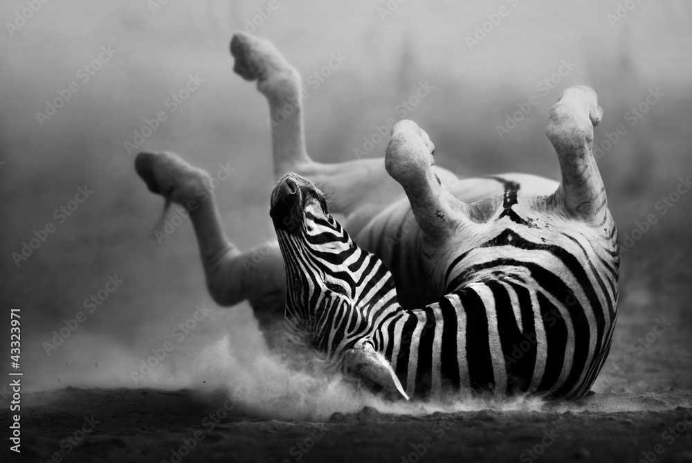 Fototapety, obrazy: Zebra rolling in the dust