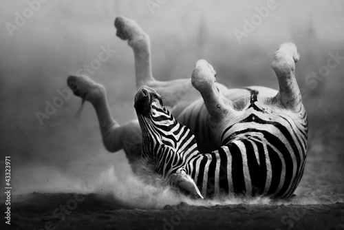 Poster de jardin Photo du jour Zebra rolling in the dust