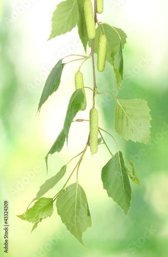 zielone-liscie-brzozy-na-zielonym-tle