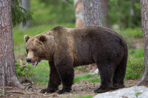 Brown bear in Tiago forest Canvas-taulu
