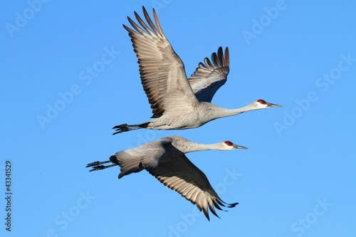 Sticker - Sandhill Cranes  (Grus canadensis)