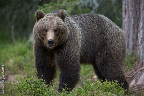Brown bear in Tiago forest Canvas Print