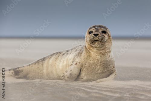Obraz premium Ssaki morskie: młoda foka na plaży